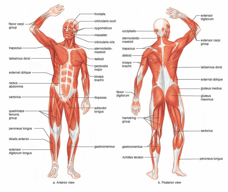 Muscular System - Our Body.. More than Skin and Bones!!